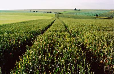 Champ de blé agriculture conventionnelle