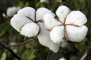 insecticides et coton