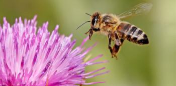 OGM Bt protègent les abeilles