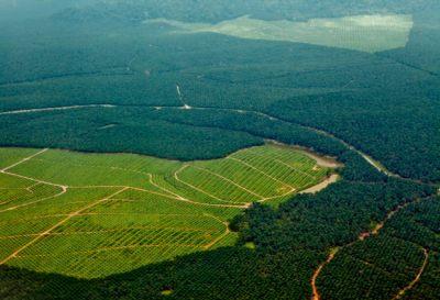L'huile palme détruit ou sauve la forêt?