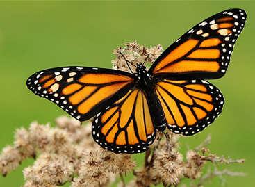 OGM Bt inoffensifs pour le papillon monarque